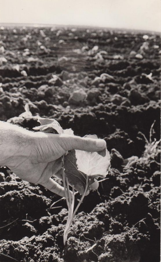 """Совхоз """"Труженик"""". На посадке капусты.1991. Ф.140.Оп.1.Д.1177.Л.2"""